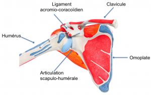 anatomie-epaule-face-humerus-omoplate-clavicule-ICMOP