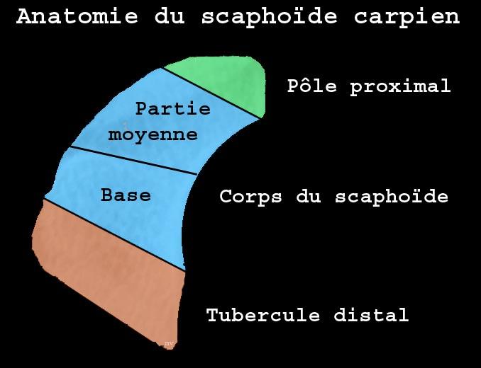 Schéma montrant les différentes zones anatomiques de l'os scaphoïde